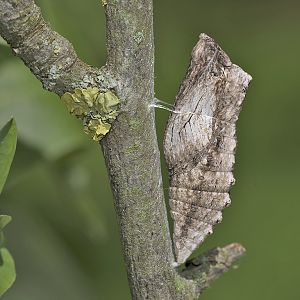 Papilio machaon - Puppe in braun